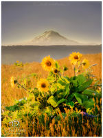 oregon, mt hood, hood, breeze, flowers, hill, relax, horizon, yellow, arrowleaf, golden, sunset