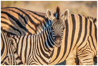 Baby, Stripes, Etosha, Namibia, wildelife, photography, connection, zebra, soom, camera, eye, colt, foal