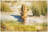 lion, lioness, majesty, watering, etosha, namibia, hunt, zebra, Wildebeest, hunt, grazers, lucky