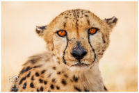 cheetah, namibia, etosha, meal, prey, brother, mammals, marveled