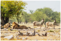 lions, savanna, stalemate, namibia, etosha, zebra, superzoom, watering, eyes