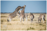 Etosha, steppe, scuffle, namibia, wilderbeast, ostrich, elephants, antelope, zebra, watering, leopards, lions, cheetahs