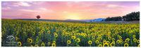 Sunflower Adulations