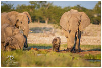 Watering, Hole, Etosha, Namibia, salt, parades, elephants, water, mother, calf, splashing