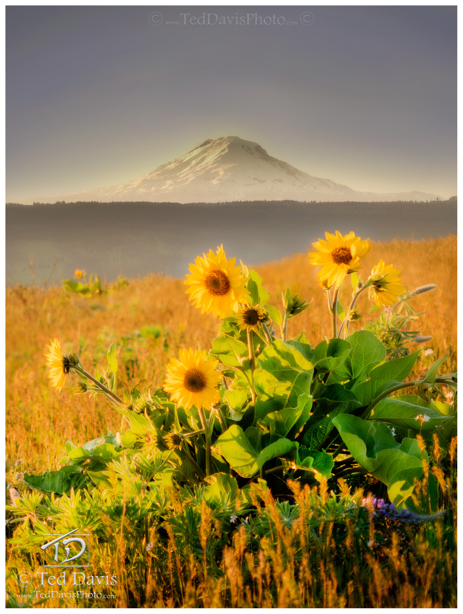 oregon, mt hood, hood, breeze, flowers, hill, relax, horizon, yellow, arrowleaf, golden, sunset, photo