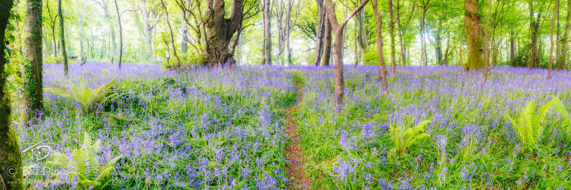 Bluebell Beauty