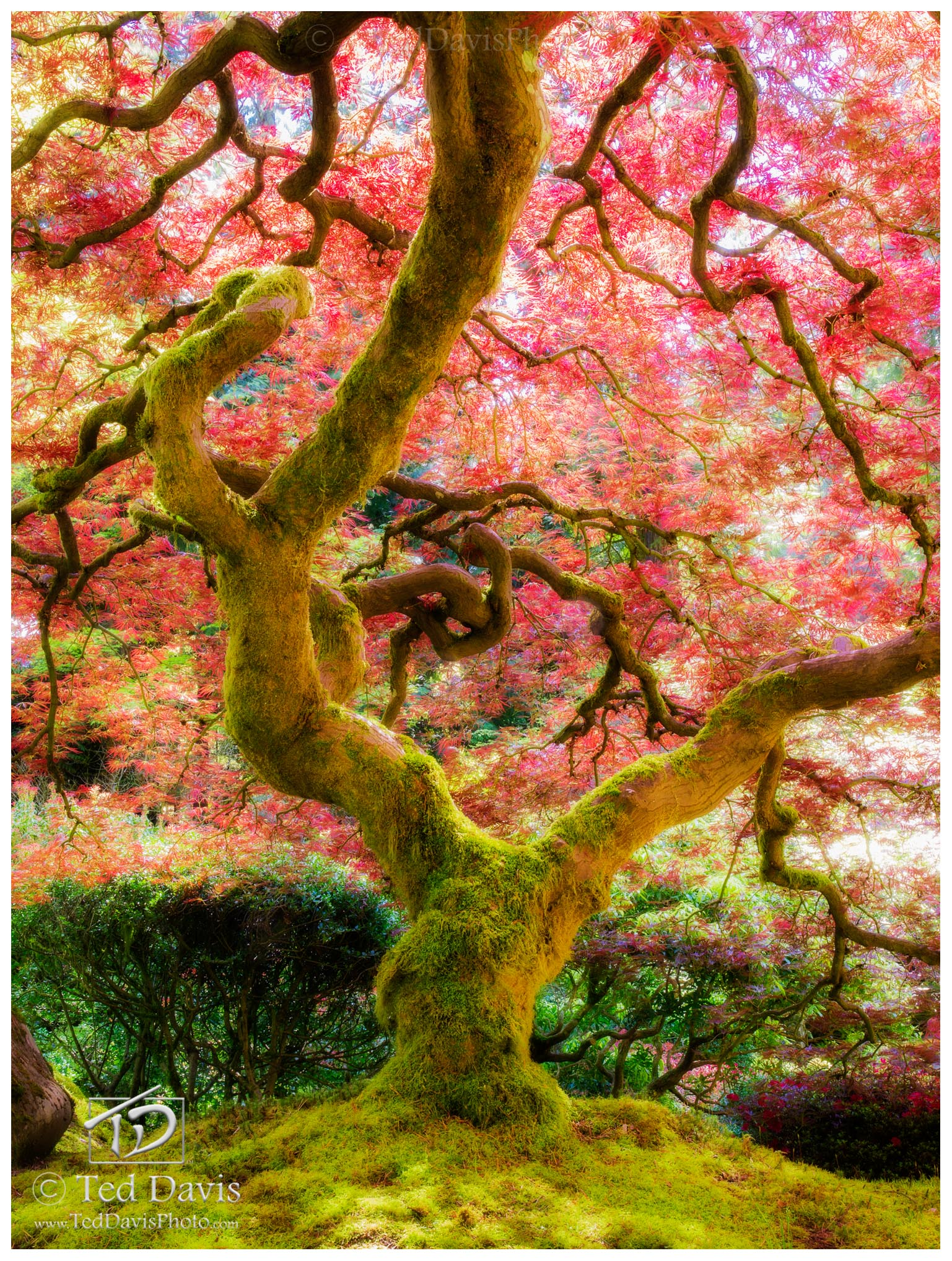 spring, reborn, oregon, japanese, tree, light, vibrant, bursting, color, love, branches, moment, perfect, photo