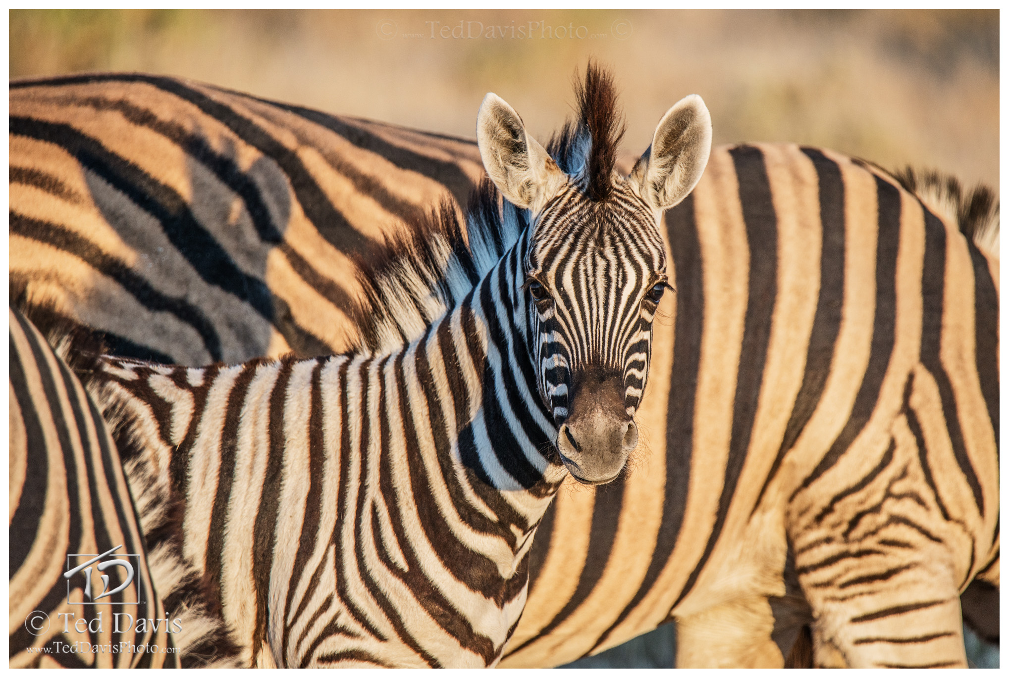 Baby, Stripes, Etosha, Namibia, wildelife, photography, connection, zebra, soom, camera, eye, colt, foal, photo