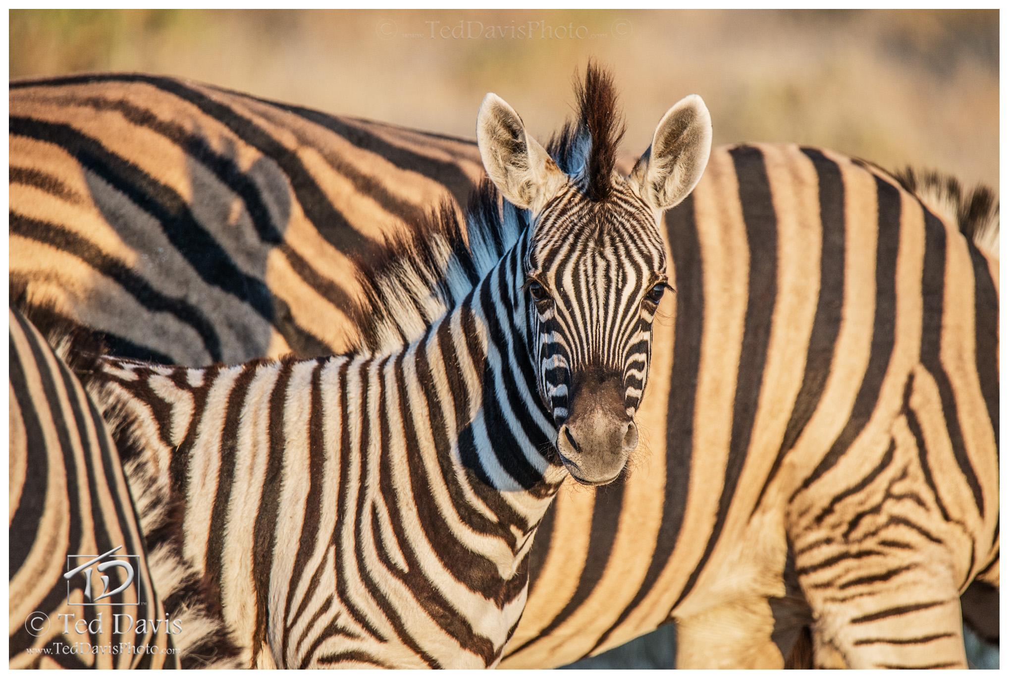 Baby, Stripes, Etosha, Namibia, wildelife, photography, connection, zebra, soom, camera, eye, colt, foal, photo