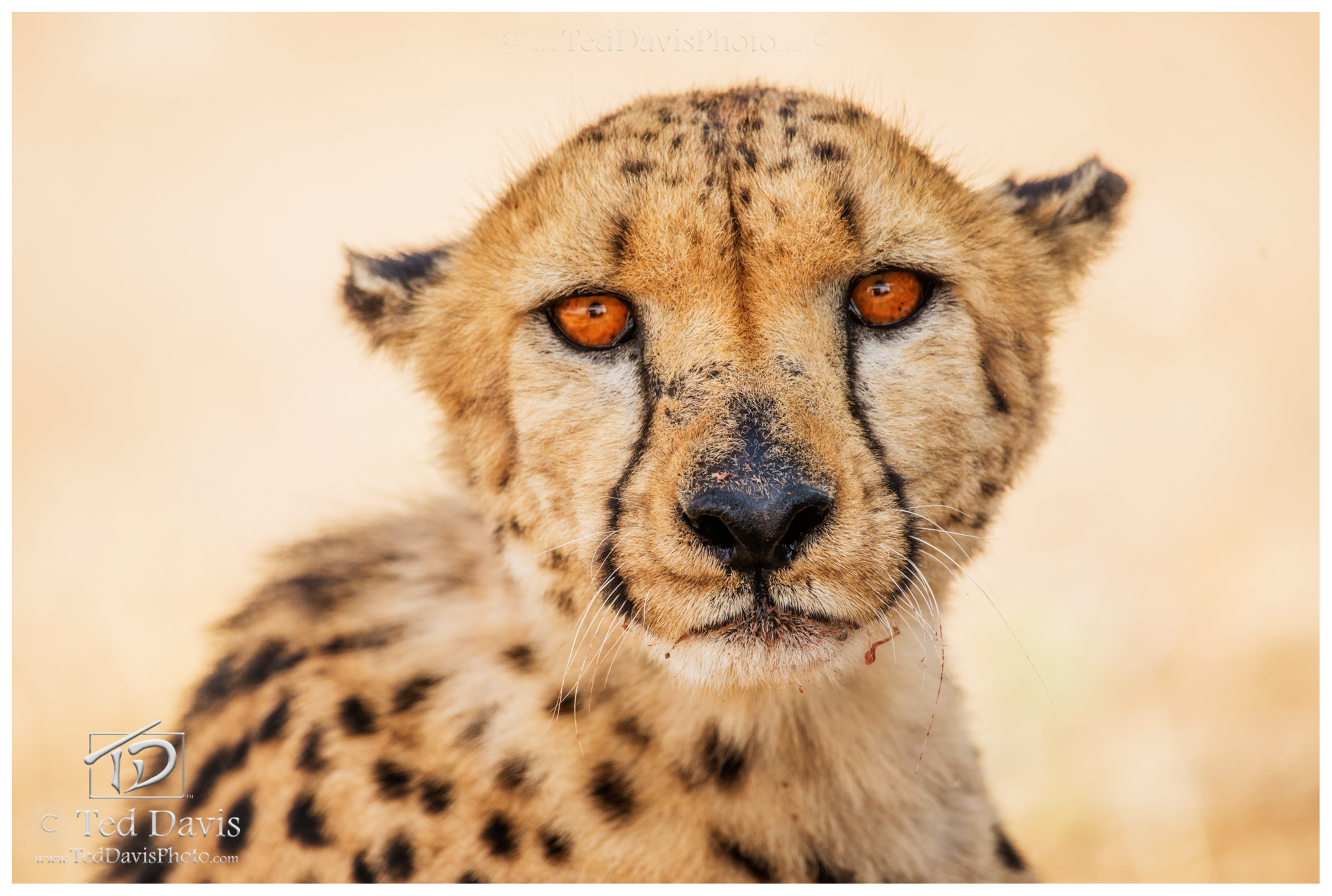 cheetah, namibia, etosha, meal, prey, brother, mammals, marveled, photo