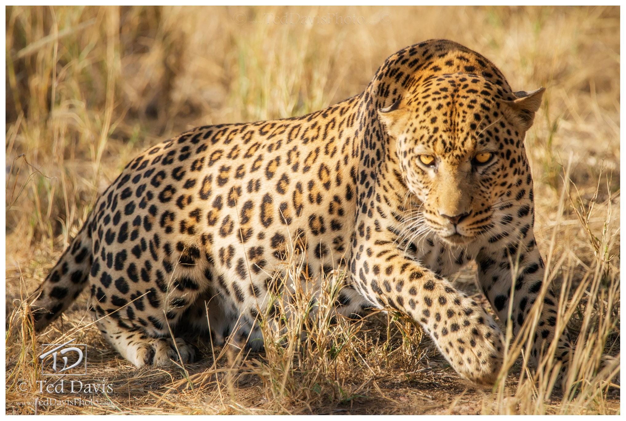 leopard, africa, safari, etosha, namibia, grass