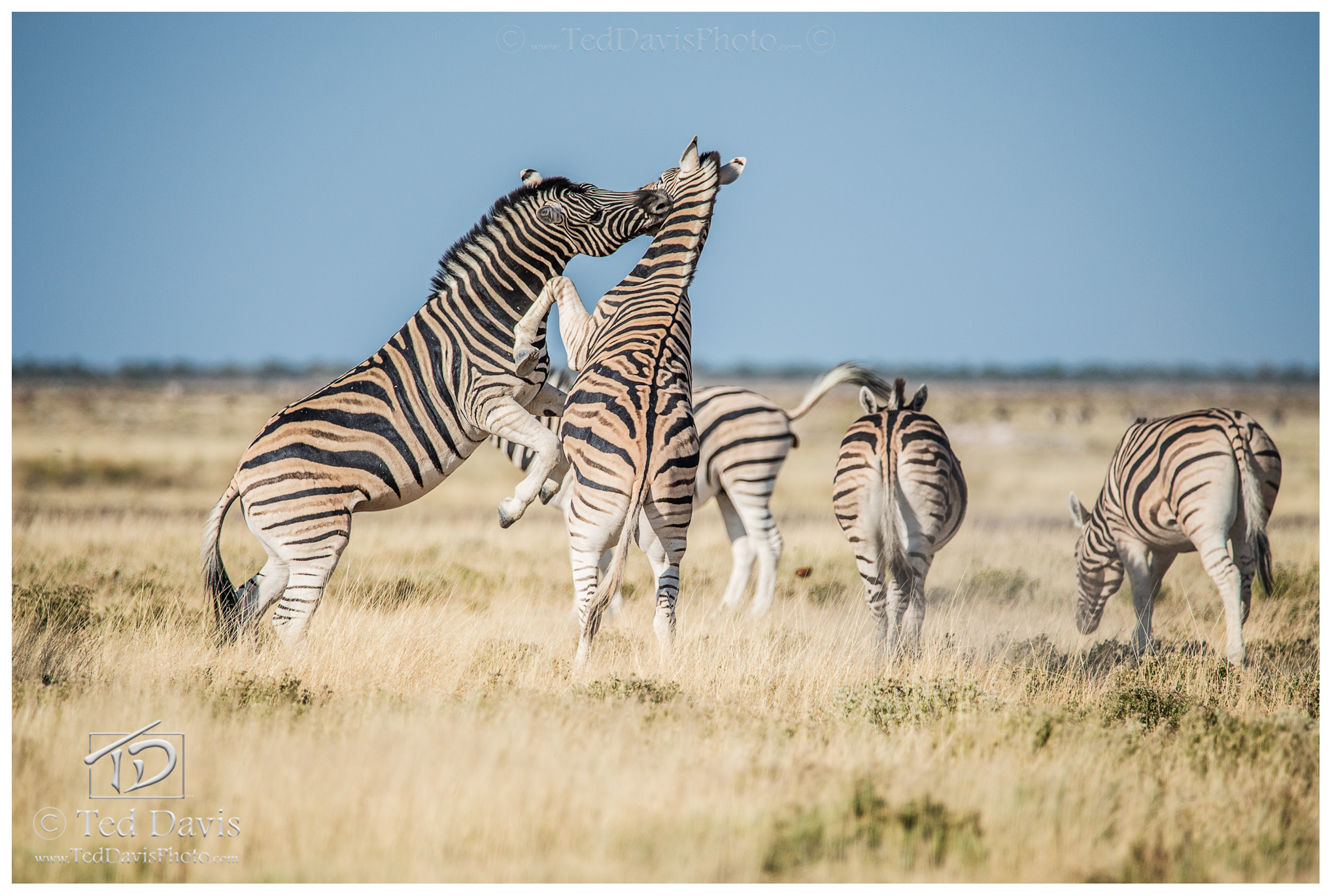 Etosha, steppe, scuffle, namibia, wilderbeast, ostrich, elephants, antelope, zebra, watering, leopards, lions, cheetahs, photo