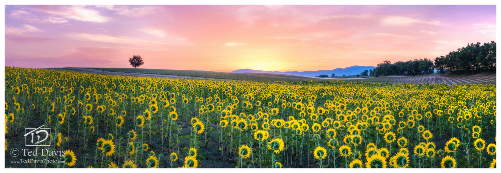 France, Provonce, Sunflower, Fairy, Magical, Field, Sun, Pink, Orange, Purple, Gold, Horizon, photo