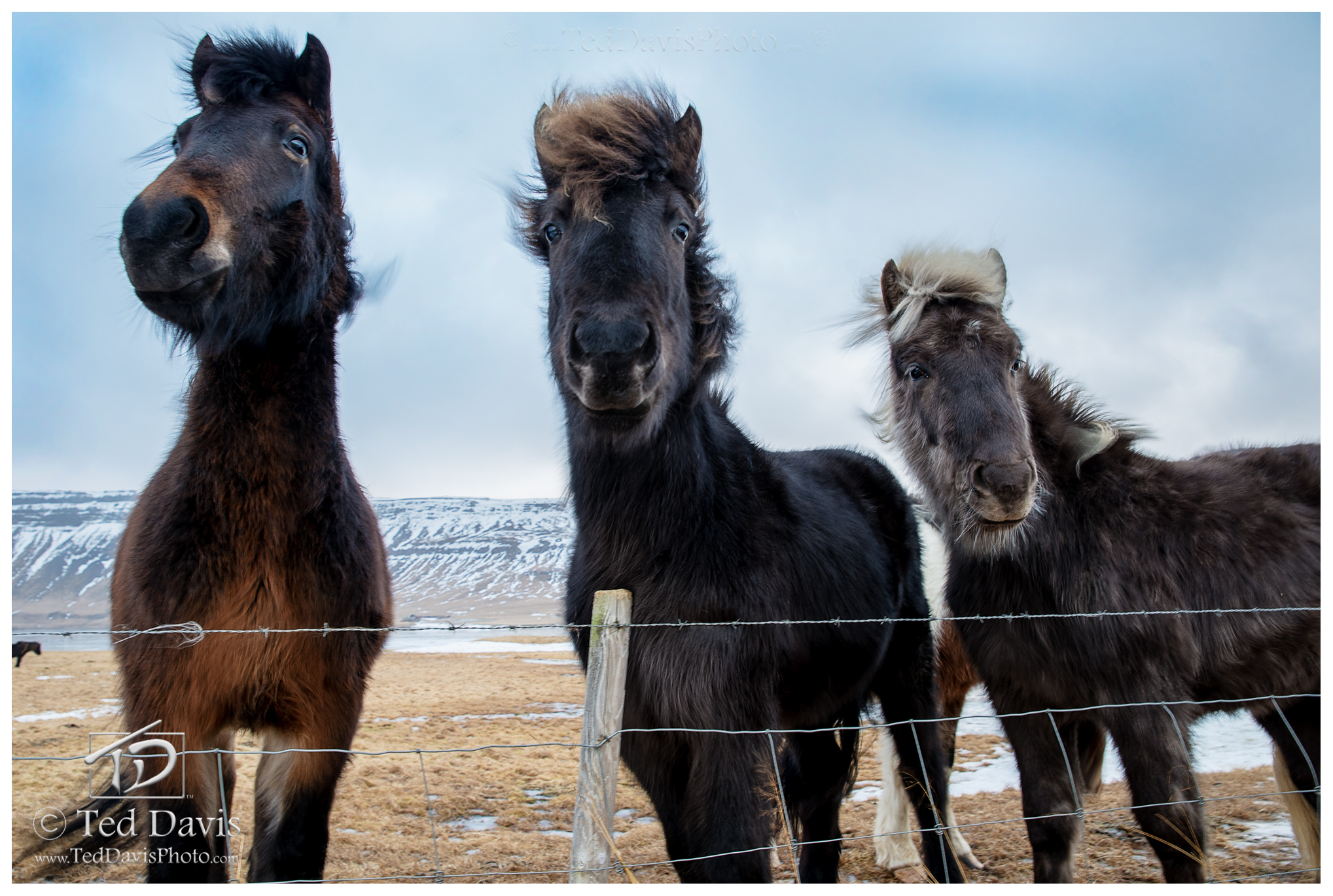 Pony, ponies, icelandic, iceland, apple, peppermint, curious, creatures, photo